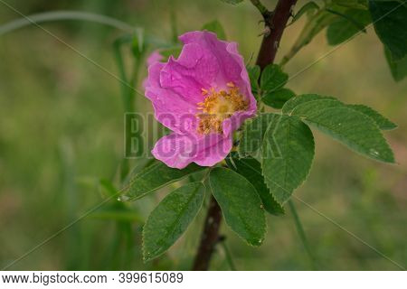 Dog Rose Flowers, Rosa Canina Flowers With Leaves. Wild Pink Rose In Nature.