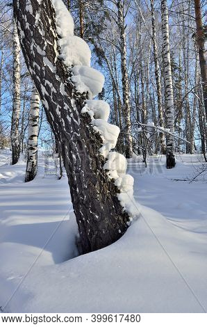 Bizarre Snowdrift On Birch Trunk In A Winter Snow-covered Forest, Looking Like A Lot Of Insects Craw