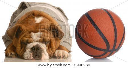 Bulldog Wearing Sweatsuit With Basketball