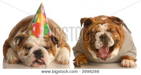 Bulldog Laughing At Birthday Dog