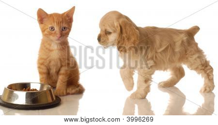 Cocker Spaniel Walking Towards Kitten Eating