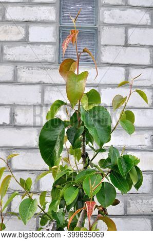 Closeup Of Grafted Asian Nashi Pear Or Pyrus Pyrifolia On The Ordinary Kind Of Pear Tree
