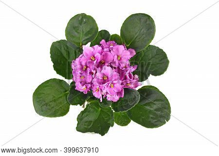 Top View Of Blooming Pink 'african Violets' Plant Isolated On White Background