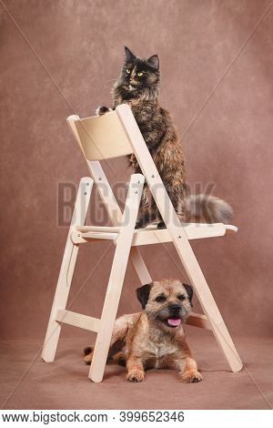 Tortoiseshell Trained Maine Coon Cat Sitting Upright On Wooden Chair With Obedient Tan Border Terrie