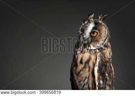 Beautiful Eagle Owl On Grey Background. Space For Text