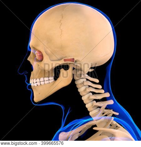 Auricular Anterior Muscle Anatomy For Medical Concept 3D