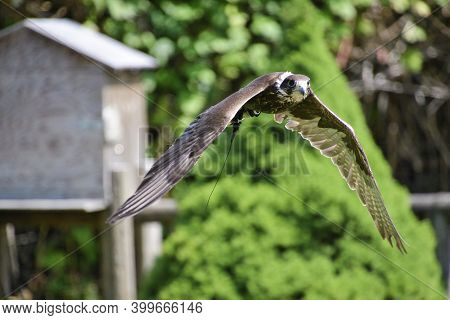 A Picture Of Peregrine Flying In The Air.      Bc Canada