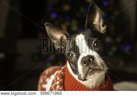 Boston Terrior Puppy Dressed Up For Christmas In Holiday Sweater