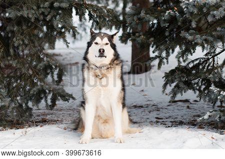 Sitting Alaskan Malamute In Winter Forest. Near Spruce Tree.