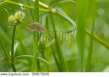 Rhodometra Sacraria. Moth On Green Grass. Close-up. Details In Nature. On The Green Grass Sits Like