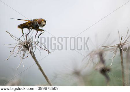 Close-up Of A Fly Sitting On A Dry Plant. Orange Fly, Fruit Fly Sitting On A Dry Flower, Big Eyes, M