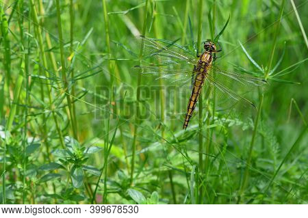 A Light Yellow Dragonfly Sits On The Brightly Juicy Green Grass Meadow. Close Up Photo Of A Beautifu