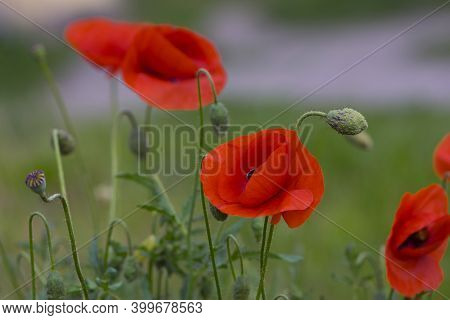 Red Field Poppies On A Green Background. Bright Poppy Field. Beautiful Red Poppy Flowers Grow In The