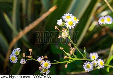 Perennial Daisy Or Bellis Perennis On Blur Background In A Garden