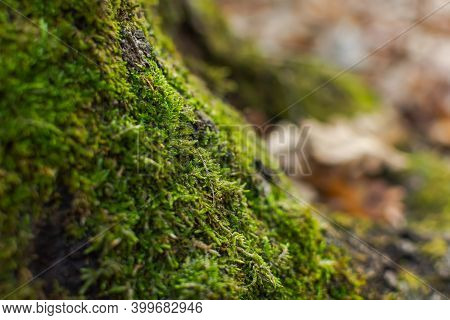 The Texture Of Moss On A Tree Close-up. Natural Green Background. Soft Focus, Shallow Depth Of Field