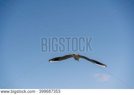 White Seagull Flies In The Blue Sky, Seagull Flies Flying Bird