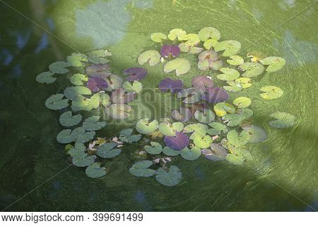 Background Green Swamp With Rare Swamp Lilies.