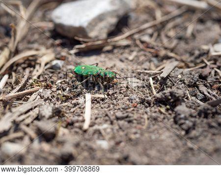 Green Tiger Beetle (cicindela Campestris) On Ground Background
