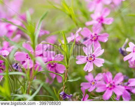Blooming Phlox Subulata Flower, Background With Pink Flowers