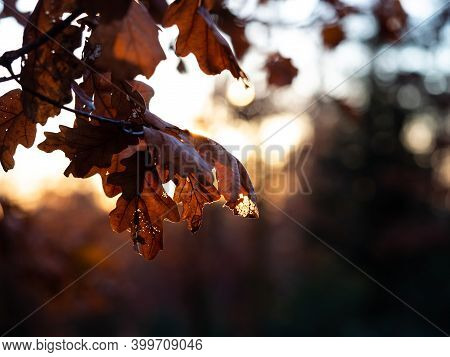 Sunlight Going Through Dry Leaves In Late Fall