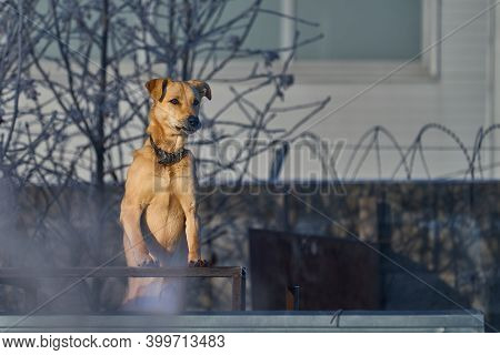 Dog Stands On Guard And Protects The Territory On A Winter Sunny Frosty Day. Close-up.
