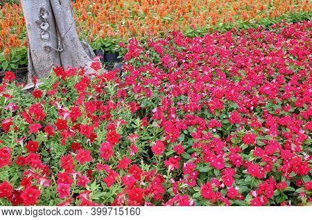 Stunning Piccola Hot Pink Petunia Flower Field With Blurry Orange Celosia Field In Background