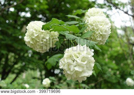 Three White Inflorescences Of Viburnum Opulus Sterile In May