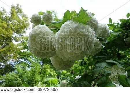 White Round Inflorescences Of Viburnum Opulus Sterile In Mid May