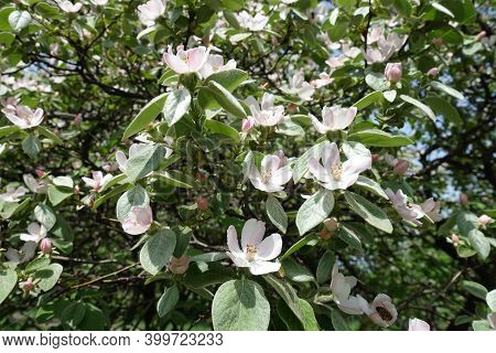 Many Pinkish White Flowers In The Leafage Of Quince Tree In May