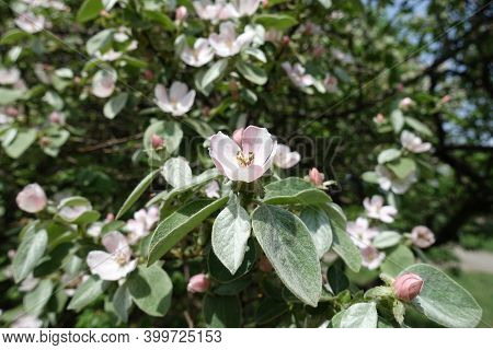 Pale Pink Flowers In The Leafage Of Quince Tree In May