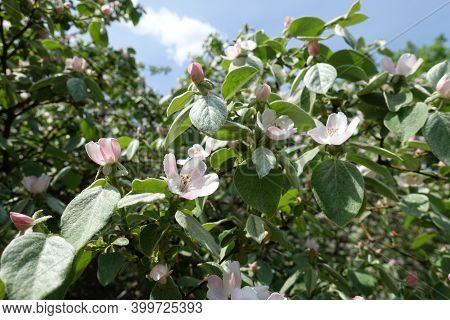 Pastel Pink Flowers And Buds In The Leafage Of Quince Tree Against Blue Sky