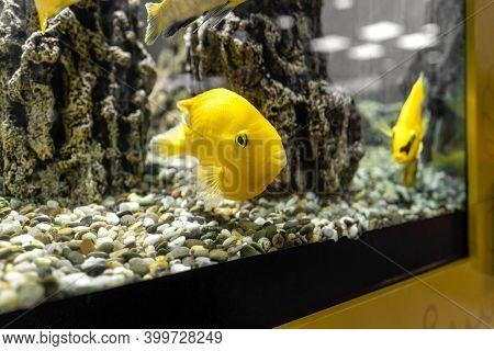 Yellow Fish In Aquarium, Gray And Yellow Colors 2021.