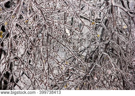 Winter Has Come. Tree Branches Covered With Ice. Winter Forest. Nature In Winter. Trees After An Icy