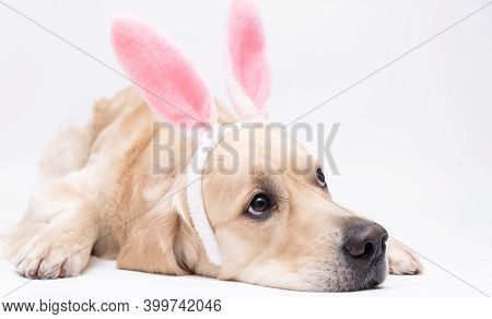Happy Easter Concept. A Dog In A Rabbit Costume Lies On A White Background. Easter Golden Retriever.