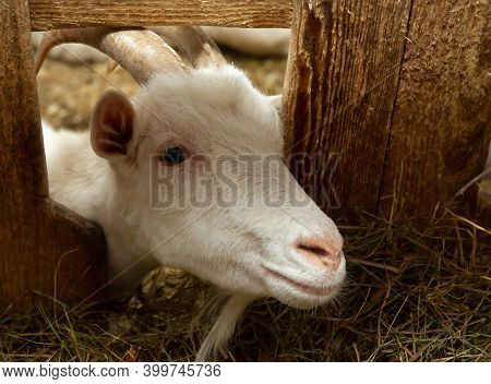 White Goat In Barn. Domestic Dwarf Goat In The Farm.