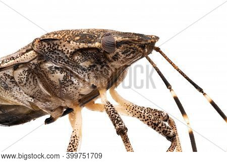 Stink Bug Macrophotography, Close Up Of Insect With White Background