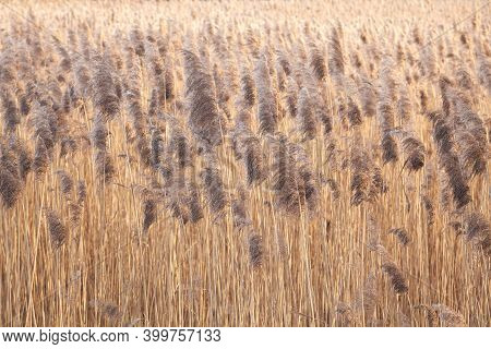 Wild Reed Field Background. Autumn River Coast Nature. Selective Focus
