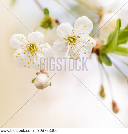 Apple Tree Blossom Branch Macro View, White Petals Flowers