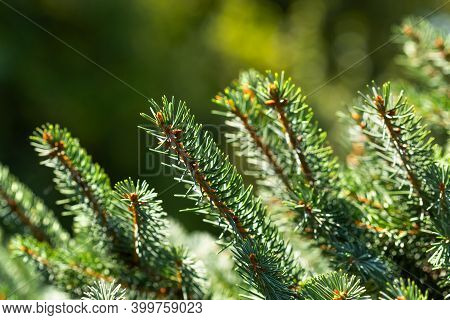Xmas Spruce Tree Branches Forest Nature Background. Christmas Festive Holiday Symbol Evergreen Tree.