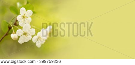 Fruit Tree Blossom Branch Macro View, White Petals Flowers. Copy Space Light Green Background. Tende