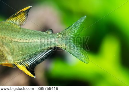 Close-up Of Tail And Fins Of Aquarium Fish The Lemon Tetra Hyphessobrycon Pulchripinnis. Freshwater
