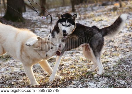 Two Husky Dogs Play In Snowy City Park Close Up Photo