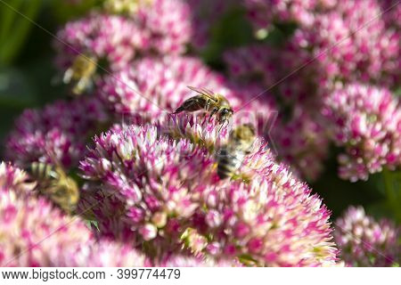 Closeup Of A Bee Enjoying The The Star-shaped Pink Flowers - Fette Henne .