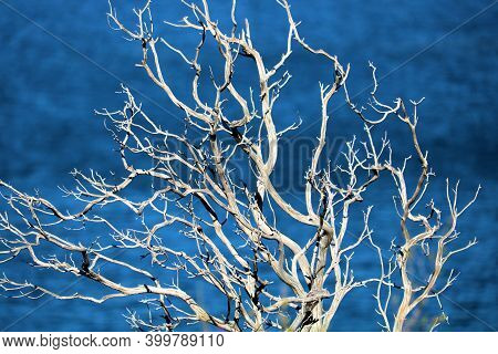 Parched Chaparral Tree With Arid Branches On A Chaparral Woodland Overlooking Silverwood Lake, Ca Ta