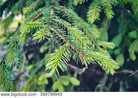 Christmas Background With Beautiful Green Pine Tree Brunch Close Up.