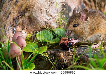 autemn scene mouse eating blackberry on a log poster