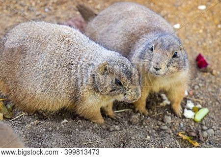 Two Black-tailed Prairie Dogs (cynomys Ludovicianus) Sharing Their Food. Wildlife Photography