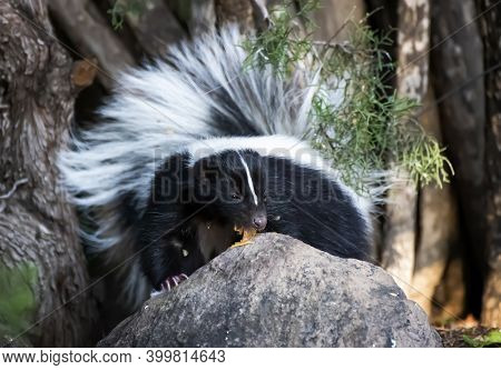 Wild Skunk Licks Peanut Butter Off Of Rock In Close Up Low Angle Face First Image.