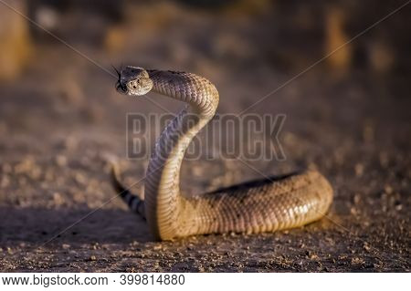 Western Diamondback Rattlesnake In A High S Defensive Position With Tongue Out On Dirt Road In Arizo