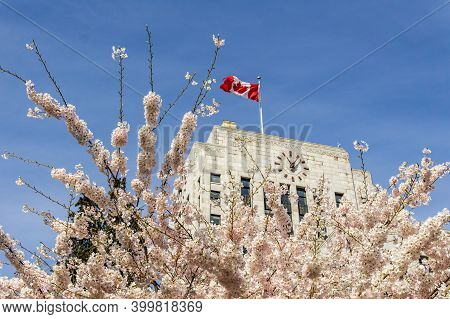 Vancouver, Canada - April 06, 2020: Cherry Trees With Fresh Pink Flowers In Spring With Cityhall Bui